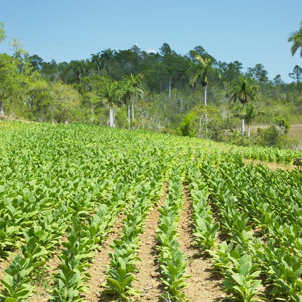 tobacco field, Pinar del R Stock photo © phbcz