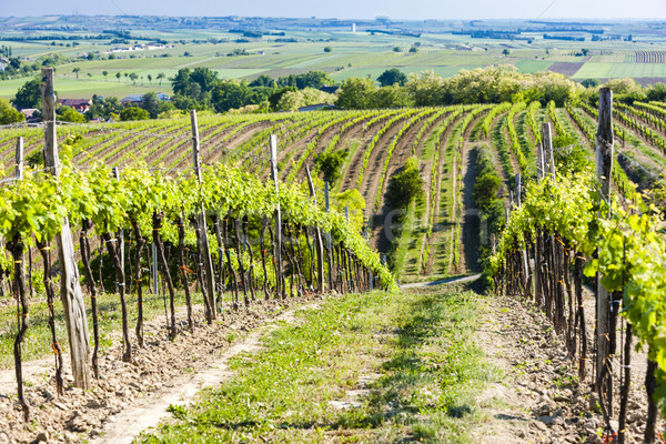 view of vineyard near Unterretzbach, Lower Austria, Austria Stock photo © phbcz