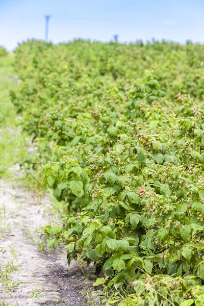 Málna bokrok gyümölcs mező kint bogyó Stock fotó © phbcz