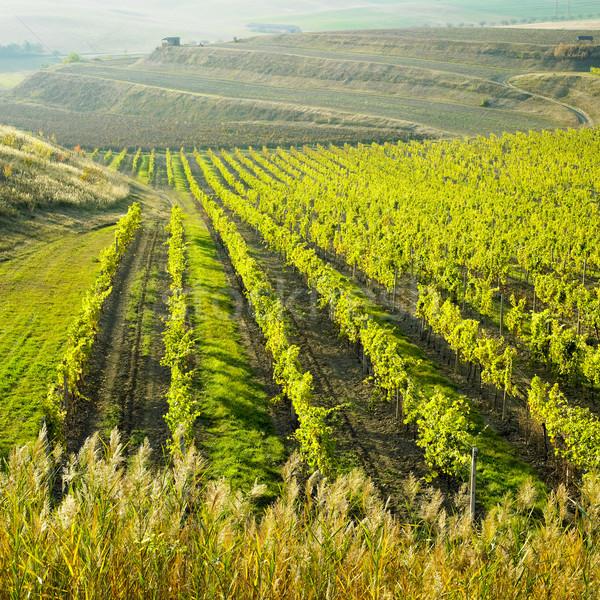 vineyard Ulehle, Livi Dubnany, Czech Republic Stock photo © phbcz