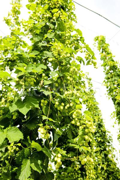 Stock photo: hops garden, Czech Republci