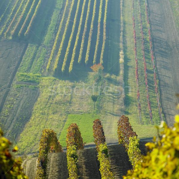 vineyards in Cejkovice region, Czech Republic Stock photo © phbcz