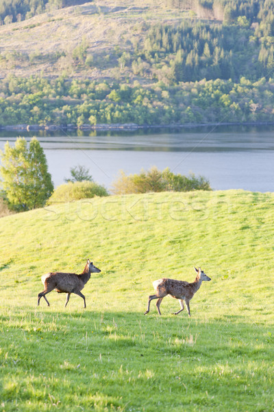 deer at Loch Tay, Highlands, Scotland Stock photo © phbcz