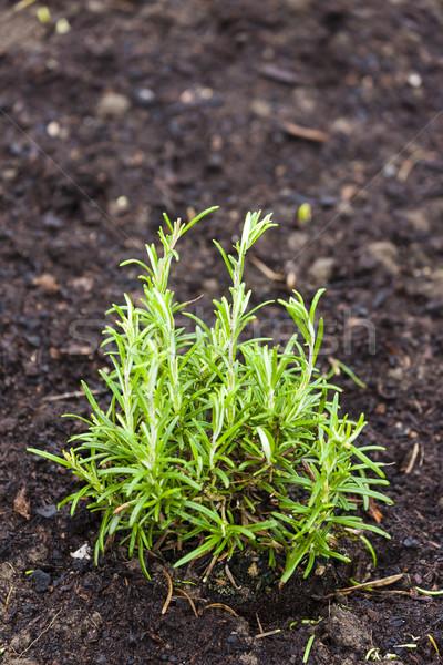 Zioła ogród rozmaryn rolnictwa gleby odkryty Zdjęcia stock © phbcz