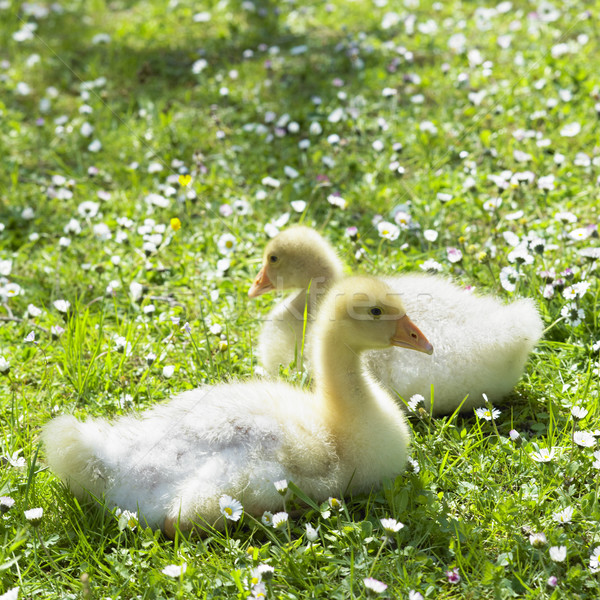 goslings Stock photo © phbcz