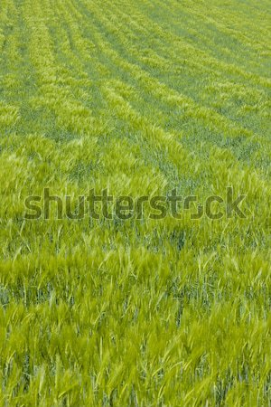 grain Stock photo © phbcz