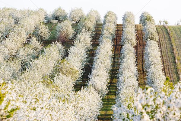 Boomgaard voorjaar Tsjechische Republiek boom landschap Stockfoto © phbcz