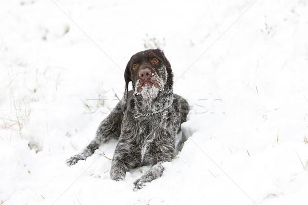 Jachthond sneeuw huisdier buitenshuis een zoogdier Stockfoto © phbcz