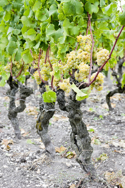white grape in vineyard, Sauternes Region, Aquitaine, France Stock photo © phbcz