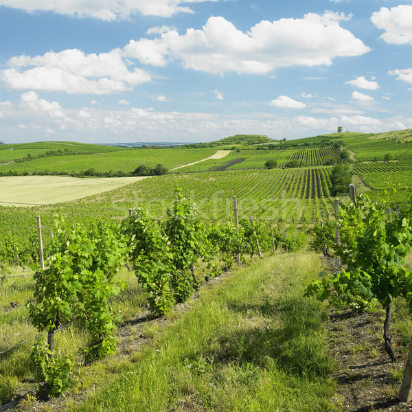 vineyard, Palava, Czech Republic Stock photo © phbcz