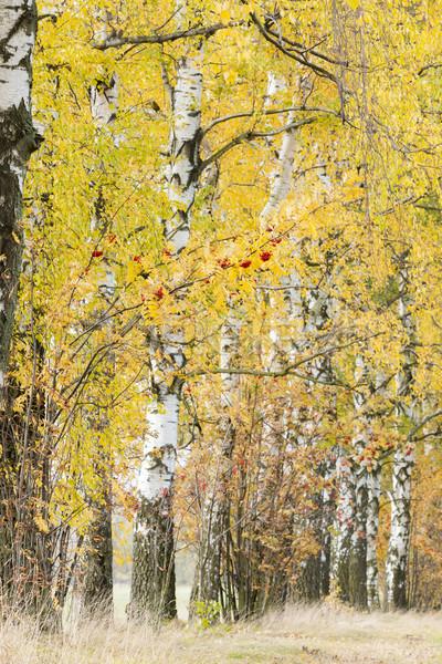 autumnal birch alley Stock photo © phbcz