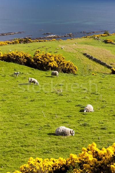 Paisaje ovejas tierras altas Escocia mar Europa Foto stock © phbcz