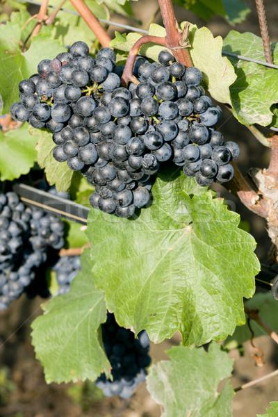 Szőlőskert Csehország természet levél gyümölcsök szőlő Stock fotó © phbcz