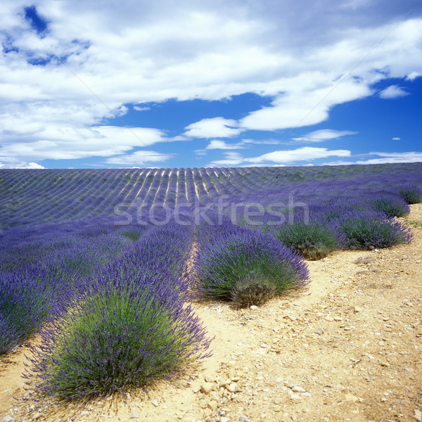 Champ de lavande plateau France fleur nature domaine Photo stock © phbcz