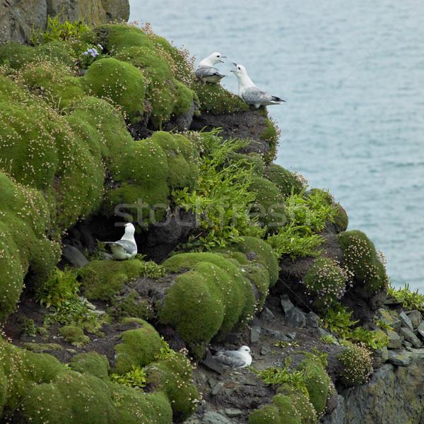 Morza ptaków pętla głowie Irlandia charakter Zdjęcia stock © phbcz