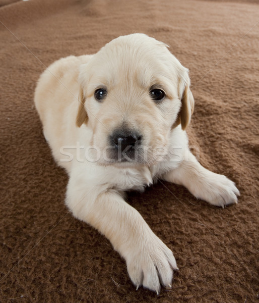 Cucciolo golden retriever cani animale pet Foto d'archivio © phbcz