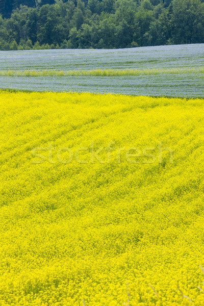 landscape with flax and rape fields, Czech Republic Stock photo © phbcz