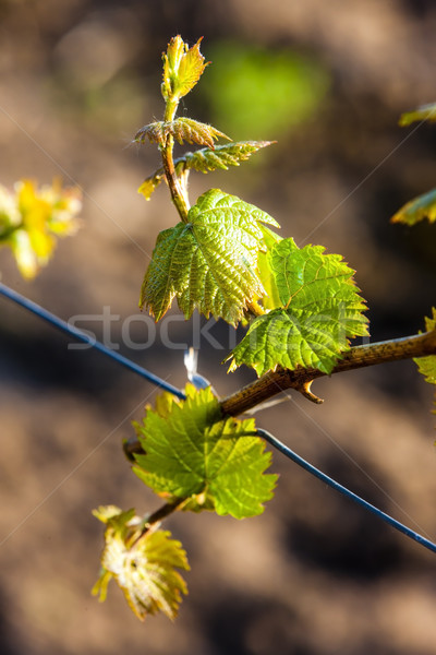 Vigne nature vert usine agriculture Photo stock © phbcz