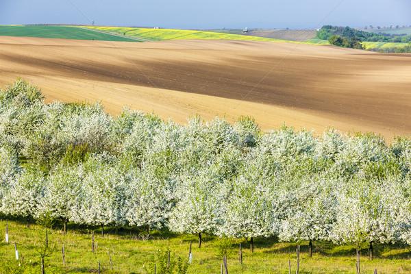 Virágzó gyümölcsös tavasz mező Csehország fa Stock fotó © phbcz