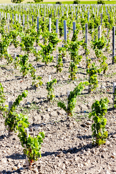vineyard, Bordeaux Region, France Stock photo © phbcz