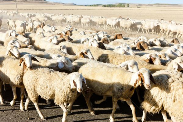 Koyun İspanya tarım açık havada memeli Stok fotoğraf © phbcz
