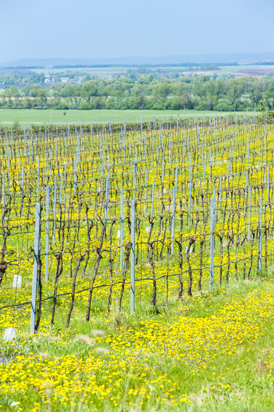 Stock photo: spring vineyard, Southern Moravia, Czech Republic