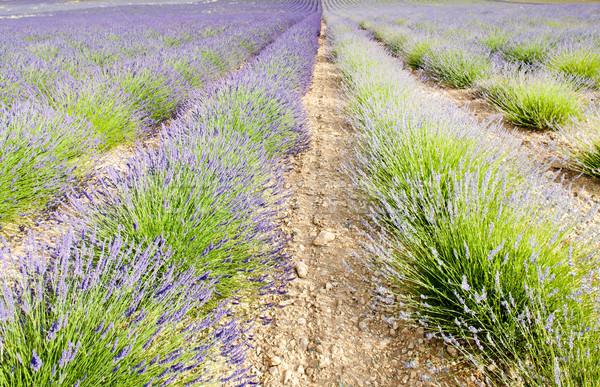 Campo de lavanda meseta Francia flor naturaleza fondo Foto stock © phbcz