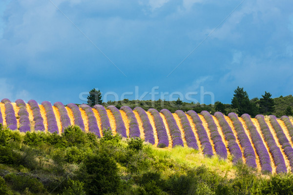 lavender field with trees, Provence, France Stock photo © phbcz