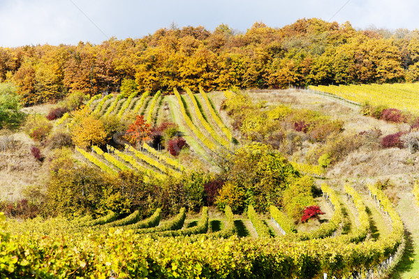 autumnal vineyards in Retz region, Lower Austria, Austria Stock photo © phbcz