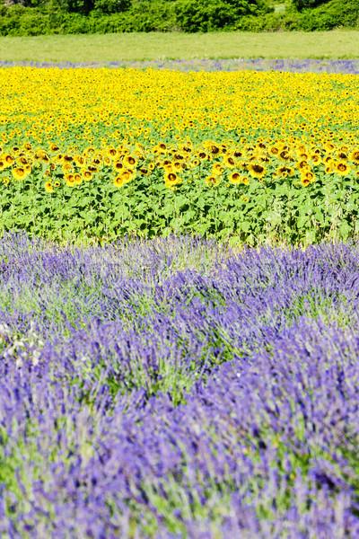 Foto stock: Lavanda · girassol · campos · França · paisagem · verão