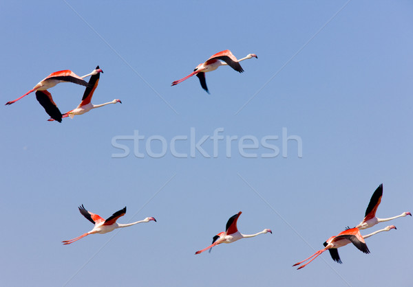 flamingos, Parc Regional de Camargue, Provence, France Stock photo © phbcz