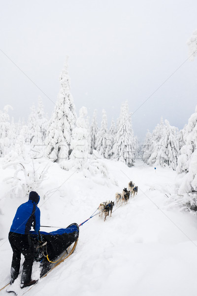 Szánkó hosszú Csehország fa kutya sport Stock fotó © phbcz