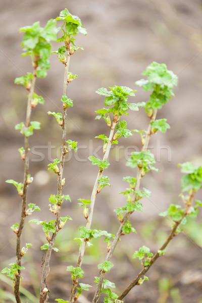 Branche courant Bush printemps nature vert Photo stock © phbcz