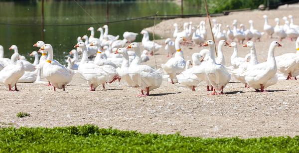 Kaz çiftlik Çek Cumhuriyeti kuş grup Avrupa Stok fotoğraf © phbcz