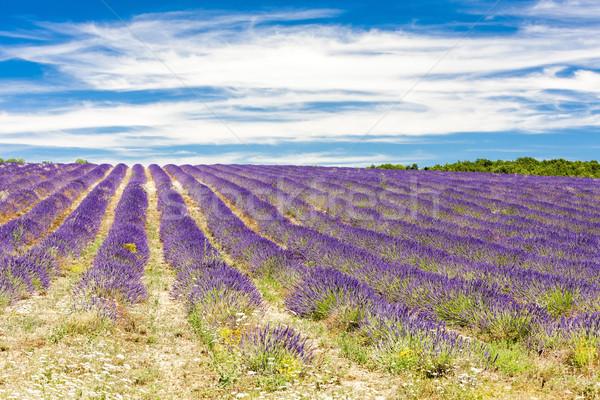 Lavendel veld Frankrijk bloem natuur Europa lavendel Stockfoto © phbcz