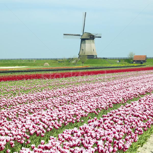 Moinho de vento tulipa campo Holanda flores primavera Foto stock © phbcz