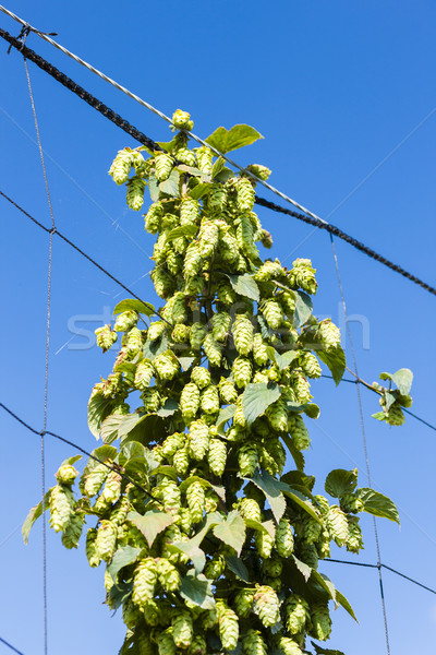 hops in hops garden, Czech Republic Stock photo © phbcz