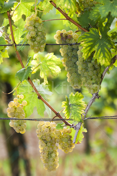 white grapes in vineyard, Southern Moravia, Czech Republic Stock photo © phbcz