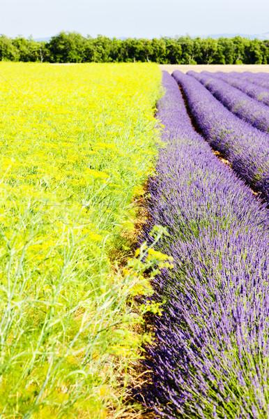 Levendula mező fennsík Franciaország virág természet növények Stock fotó © phbcz