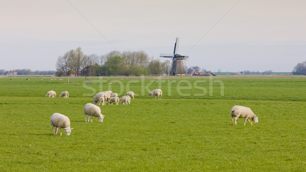 windmill and sheep near Marrum, Friesland, Netherlands Stock photo © phbcz