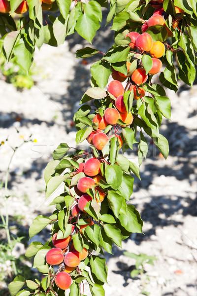 Verger nature feuille fruits arbres plantes Photo stock © phbcz