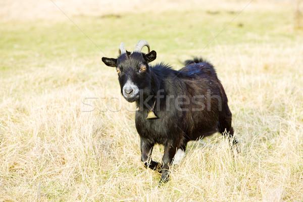 Kecske Vermont USA állat szabadtér kívül Stock fotó © phbcz