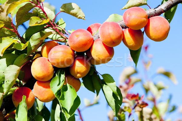 Naturaleza hoja frutas árboles plantas Foto stock © phbcz