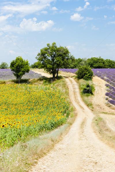 sunflower and lavender fields, Plateau de Valensole, Provence, F Stock photo © phbcz