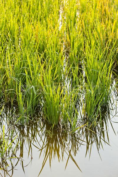 Rijstveld Italië natuur achtergrond plant rijst Stockfoto © phbcz