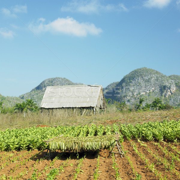tobacco harvest, Pinar del R Stock photo © phbcz