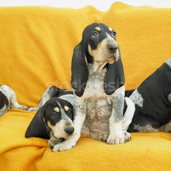 щенки собаки животного ПЭТ два Сток-фото © phbcz