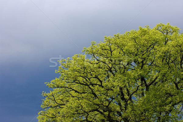 spring tree''s detail Stock photo © phbcz