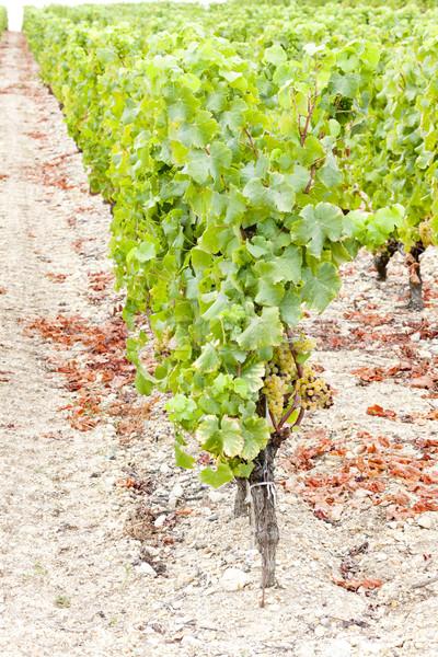 Blanco de uva vina región Francia hoja Foto stock © phbcz