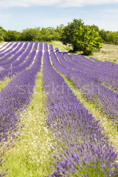 Campo de lavanda França árvore paisagem campo planta Foto stock © phbcz